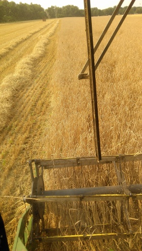 Collecting spelt.
