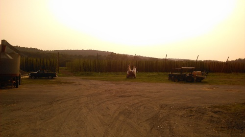 The hops fields at Four Star. Sunset.