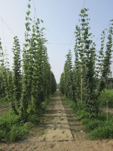 Rows of hops.
