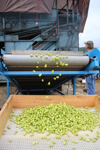 The hops are rolling in!
